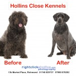 Luna Labradoodle before and after